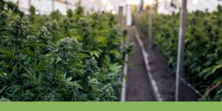 Winterization Cannabis Hemp